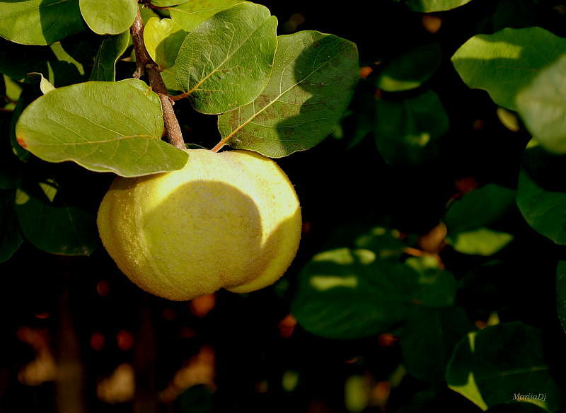 Fruit Photograph - Quince Time by Marija Djedovic