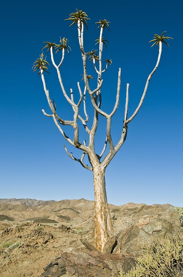 Quiver Tree Photograph - Quiver Tree by Peter Chadwick
