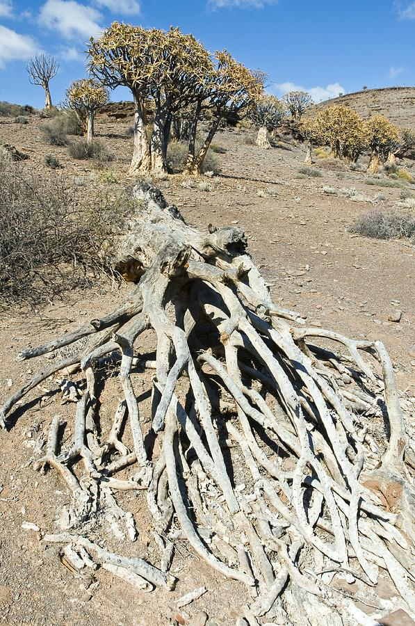 Aloe Dichotoma Photograph - Quiver Trees by Peter Chadwick