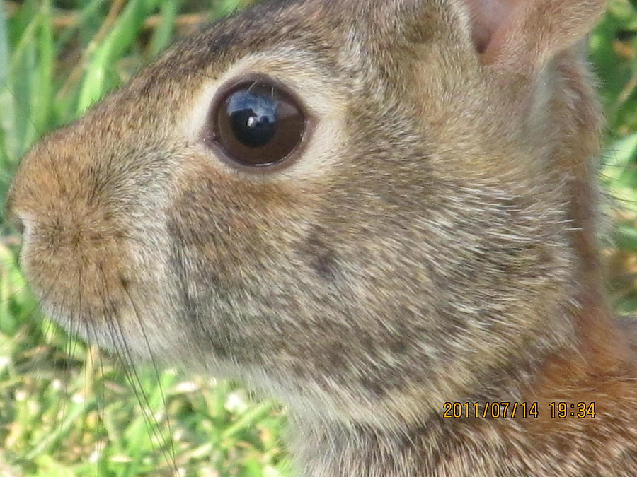 Rabbit Photograph - Rabbit Eye by Tina M Wenger