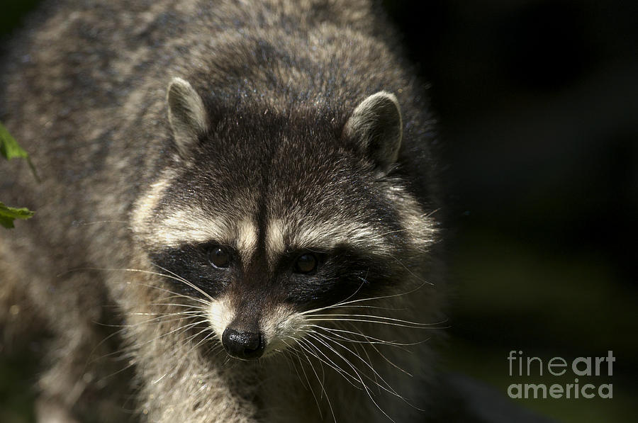 Raccoon Photograph - Raccoon 2 by Sharon Talson