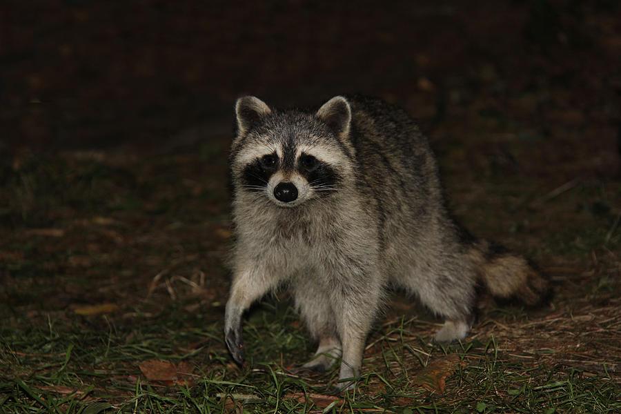 Raccoon Photograph - Raccoon by Lali Partsvania