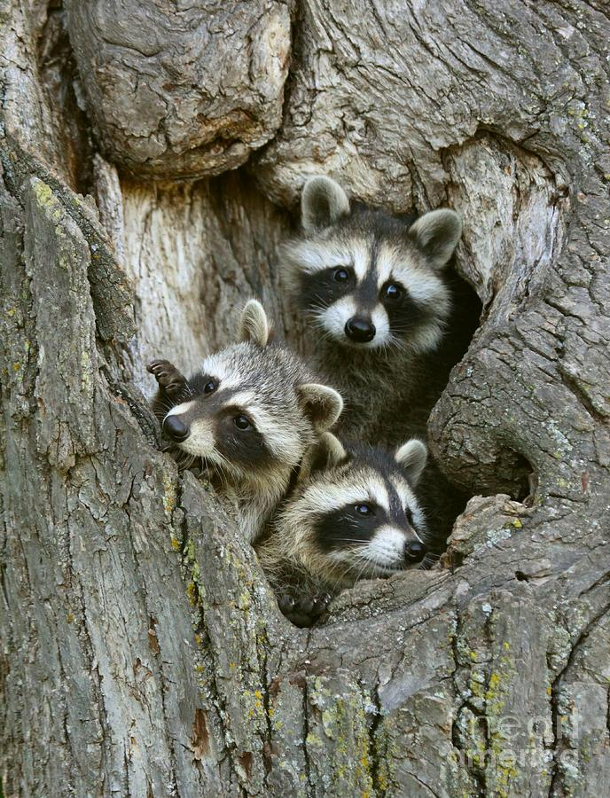 Raccoons Peeking Out Photograph By Myrna Bradshaw