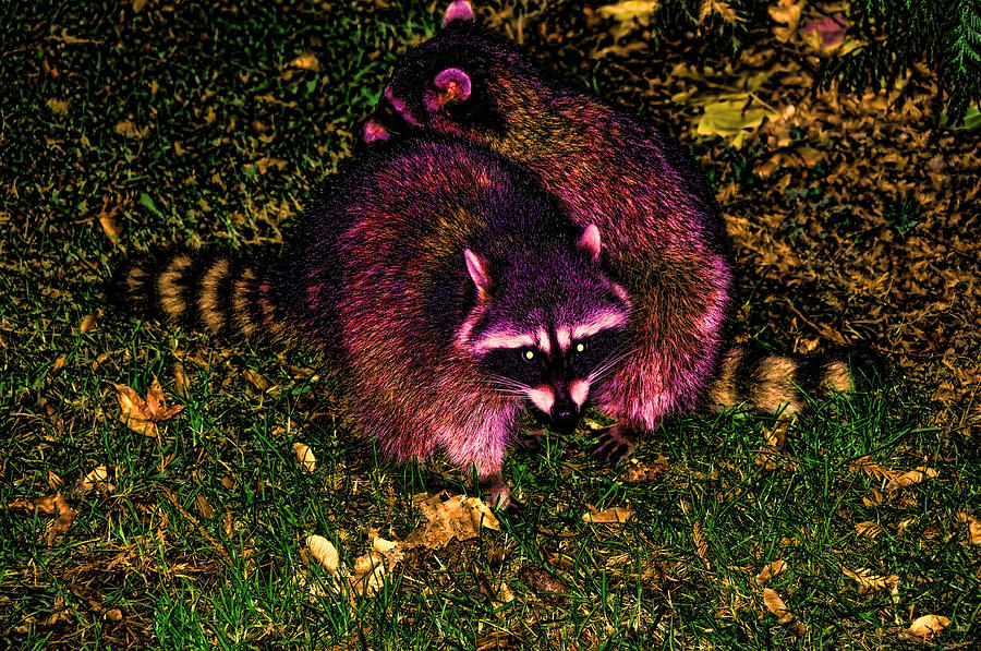 Racoons Photograph - Racoons In Stanley Park by Lawrence Christopher
