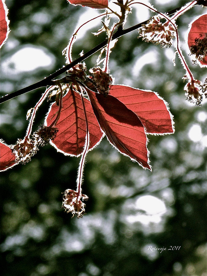Red Leaves Photograph - Radiant Sparkle by Rotaunja