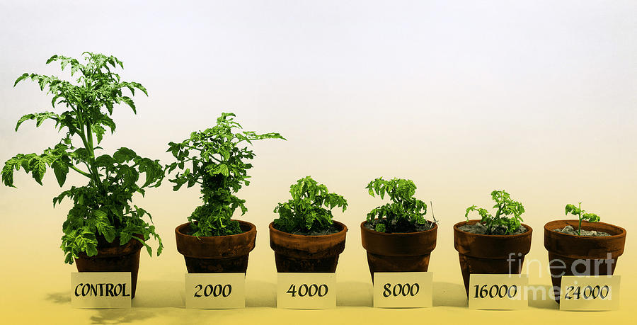 Irradiation Photograph - Radiation And Tomato Plants by Photo Researchers, Inc.