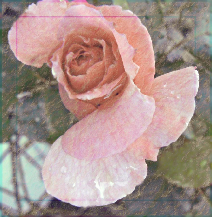 Rose Photograph - Rain Dancer by Pamela Patch