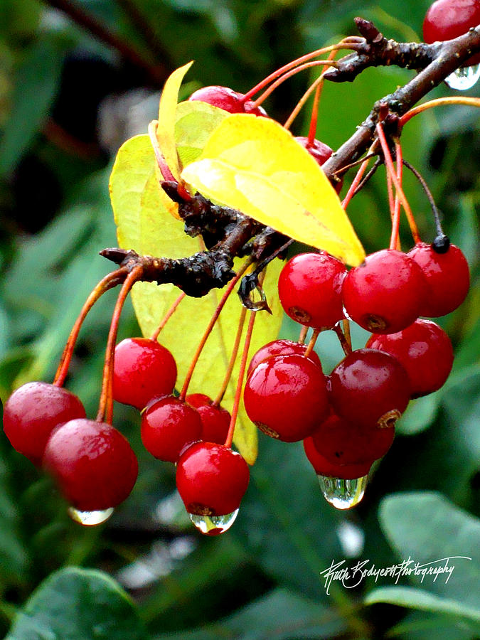 Nature Photograph - Rain Drenched by Ruth Bodycott