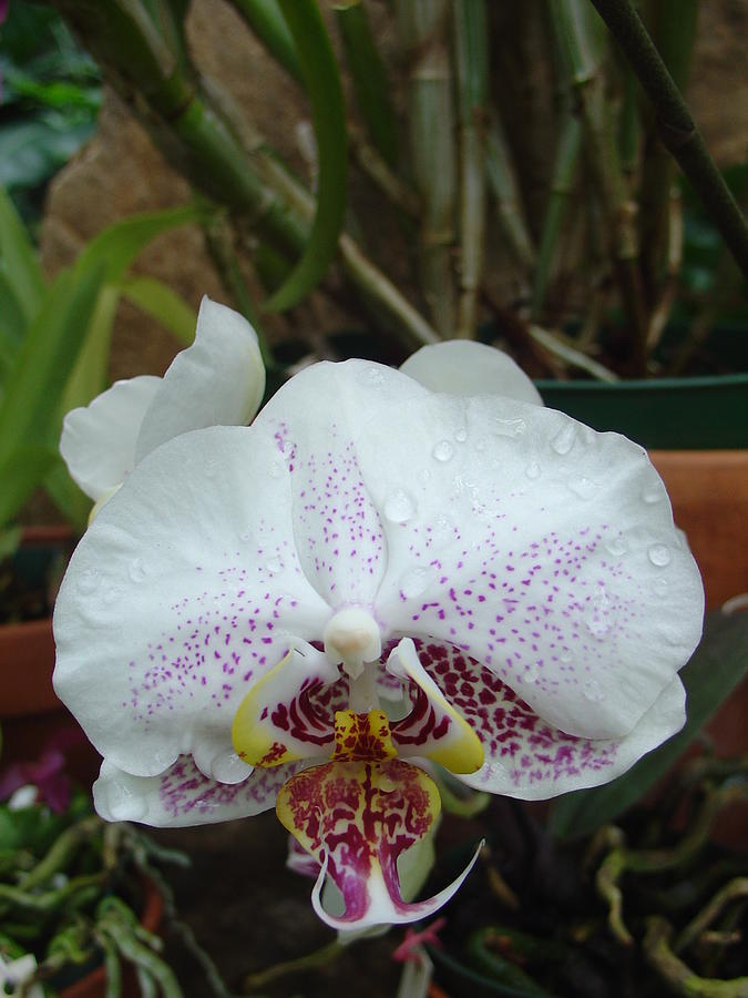 Rain Drops on Orchid by Charles and Melisa Morrison