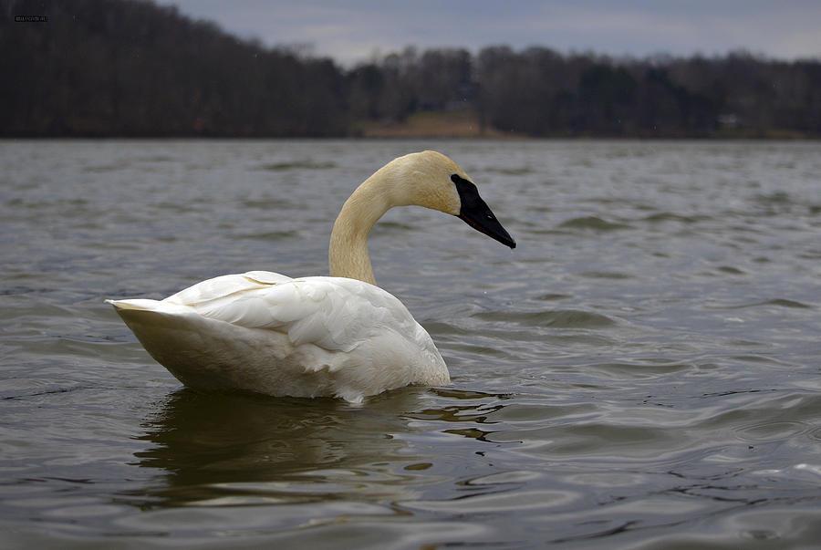 Swans Photograph - Rain Swan 2 by Brian Stevens