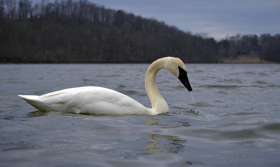 Swans Photograph - Rain Swan by Brian Stevens