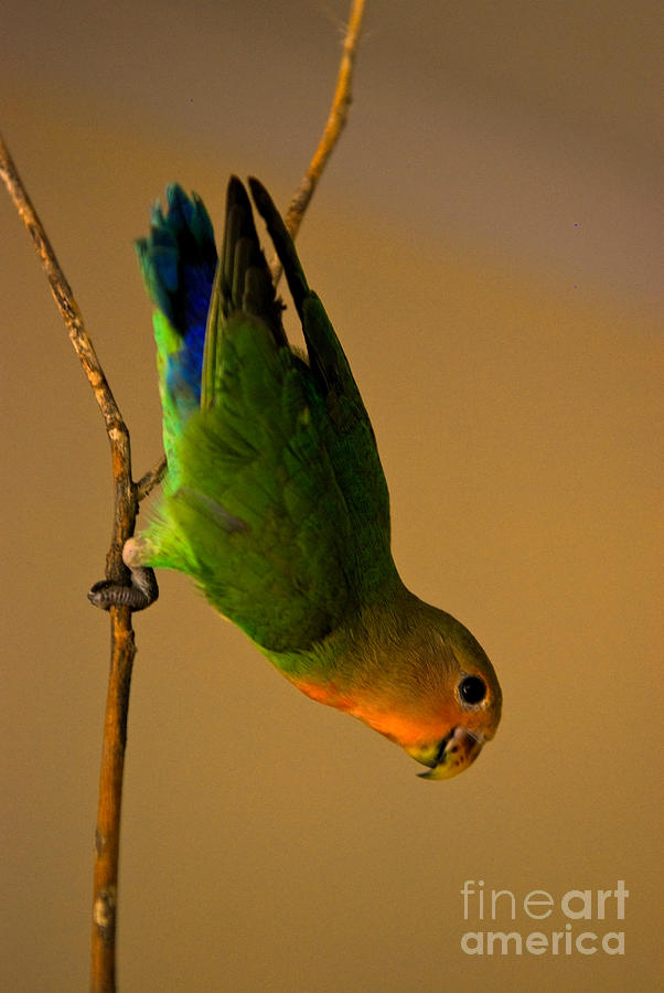 Lovebird Photograph - Rainbow Bird by Syed Aqueel