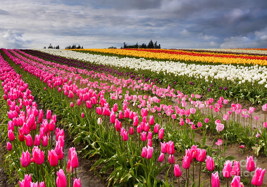 Tulips Photograph - Rainbow Fields by Mike  Dawson