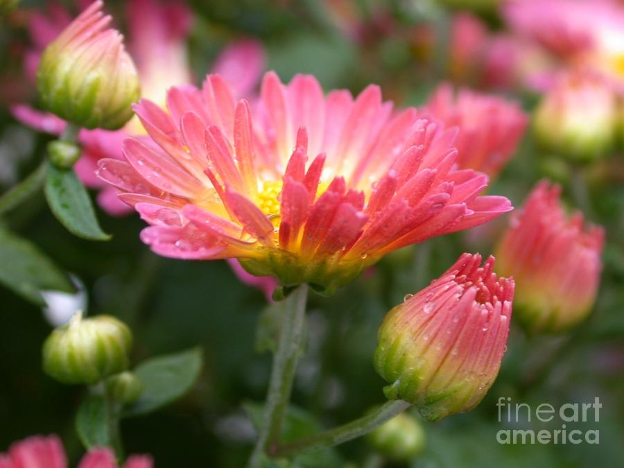 Floral Photograph - Rainbow Mums by Living Color Photography Lorraine Lynch