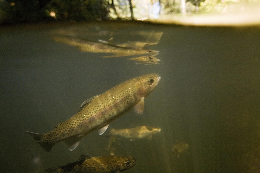 Adult Photograph - Rainbow Trout In Creek  Aptos California by Sebastian Kennerknecht