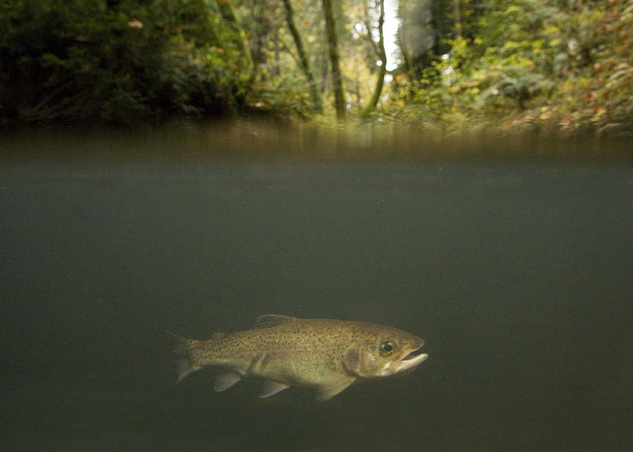 Adult Photograph - Rainbow Trout In Creek In Mixed Coast by Sebastian Kennerknecht