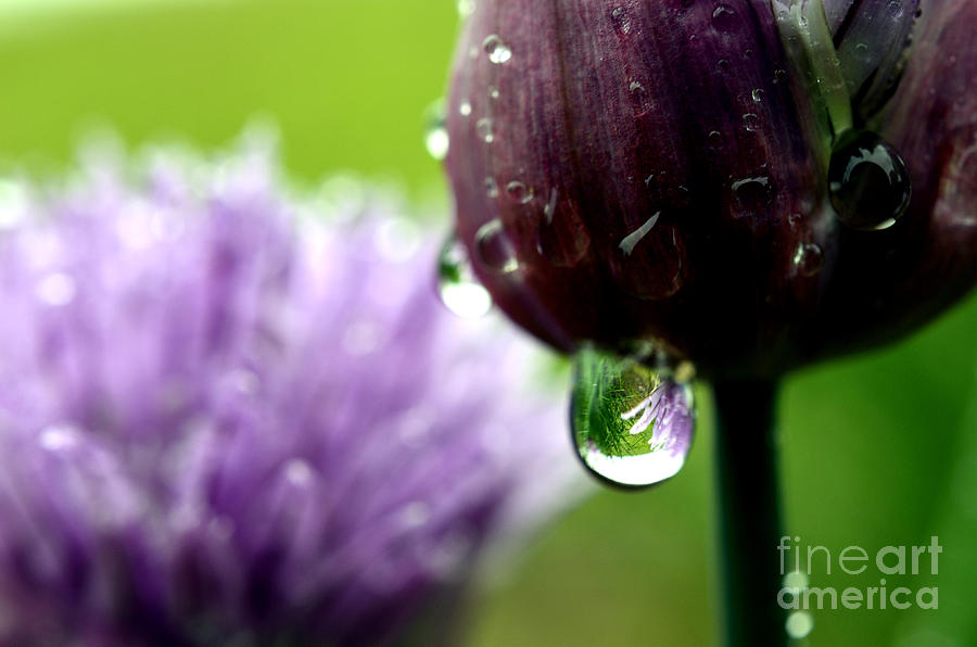 Chives Photograph - Raindrops On Chives In Bloom by Thomas R Fletcher