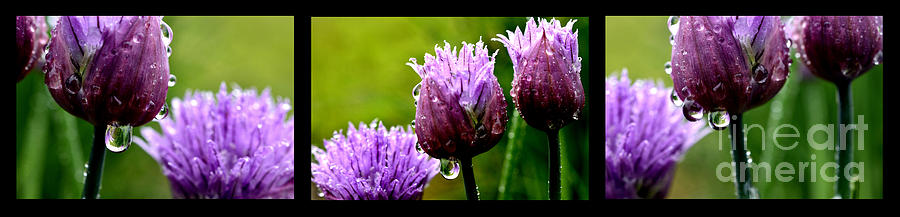 Triptych Photograph - Raindrops On Chives Triptych by Thomas R Fletcher