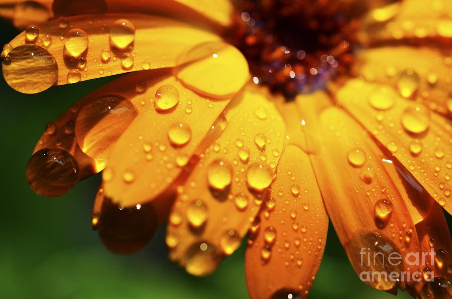 Orange Photograph - Raindrops On Daisy by Thomas R Fletcher