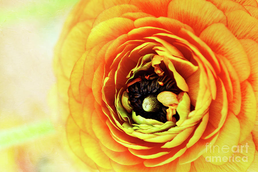 Flower Photograph - Ranunculus In Orange by Stephanie Frey