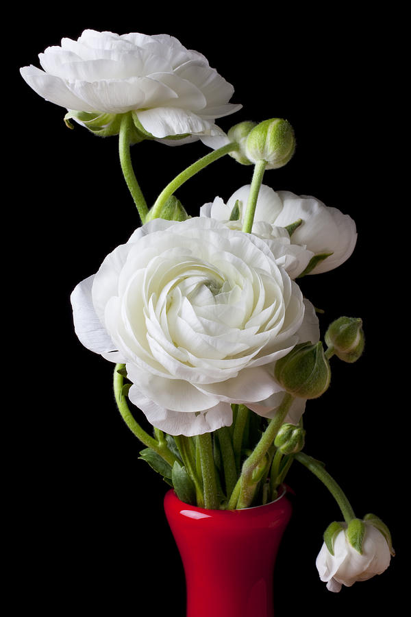 White Ranunculus Flower Red Photograph - Ranunculus In Red Vase by Garry Gay