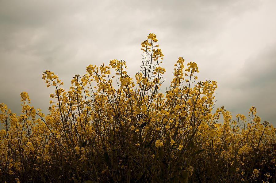 Cloud Photograph - Rapes Field by Svetlana Sewell
