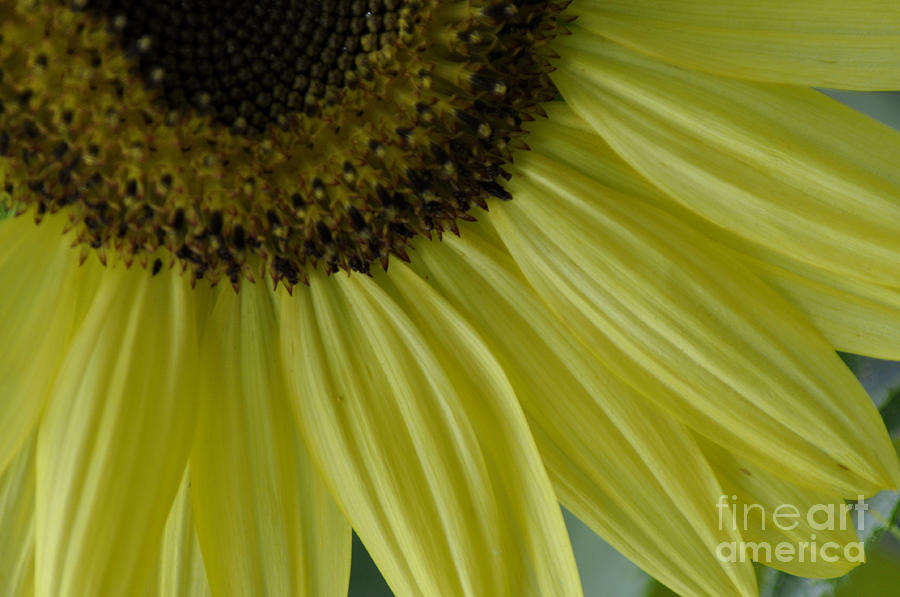 Flowers Photograph - Rays Of Sunshine by Tamera James