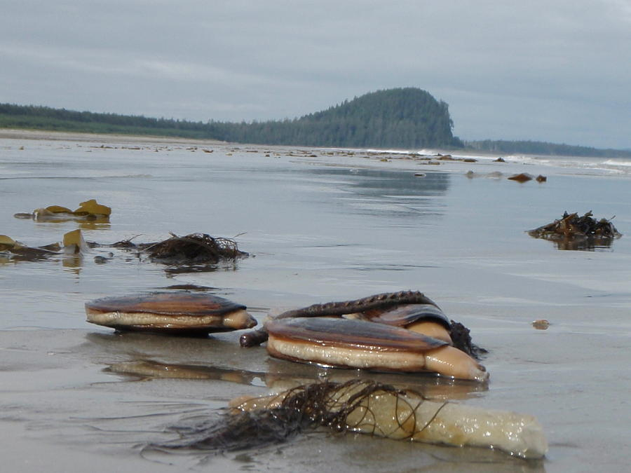 Shellfish Photograph - Razor Clams by Garry Otto
