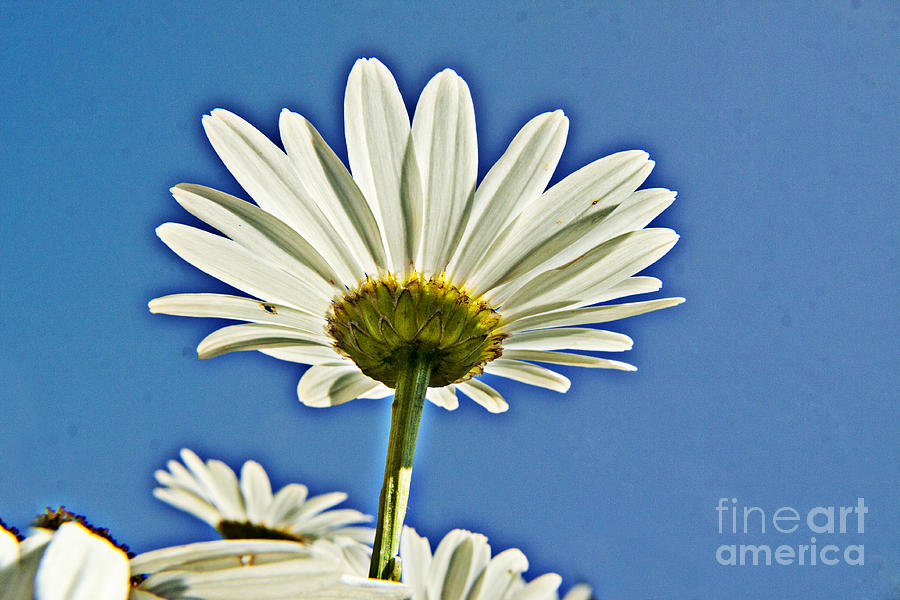Daisy Photograph - Reach For The Blue Sky by Darleen Stry