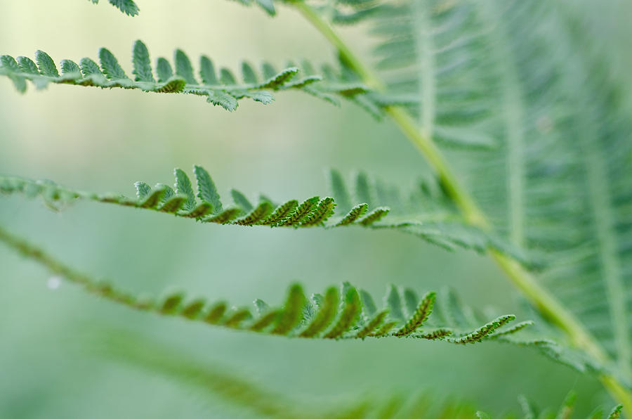Ferns Photograph - Reaching Ferns by Margaret Pitcher
