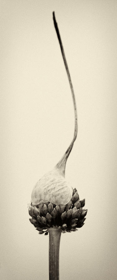 Allium Photograph - Reaching For The Sky by Stelios Kleanthous