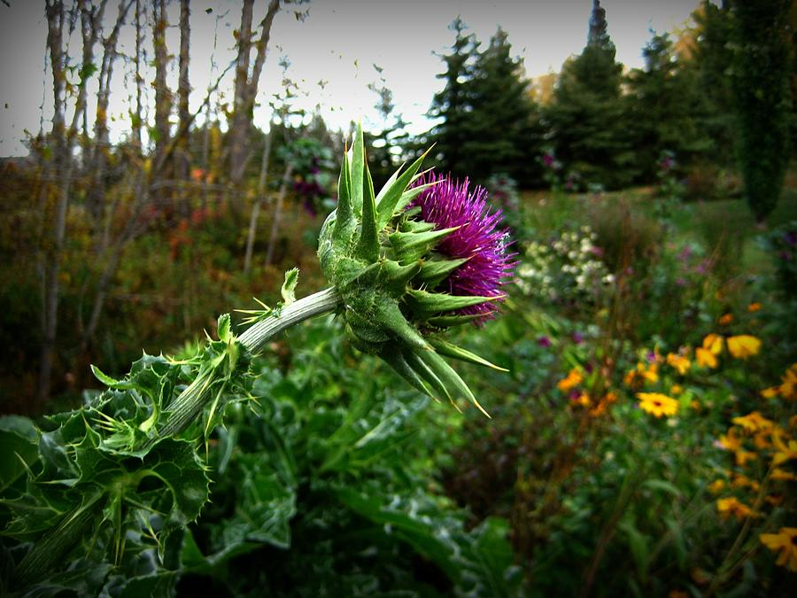 Thistle Photograph - Reaching Milk Thistle by Shirley Sirois