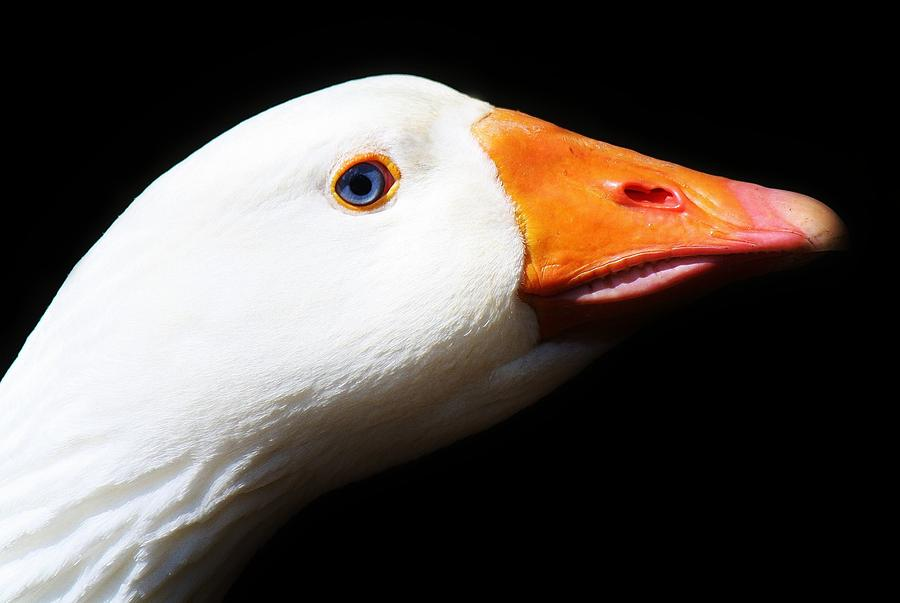 Duck Photograph - Ready For My Close Up by Paulette Thomas