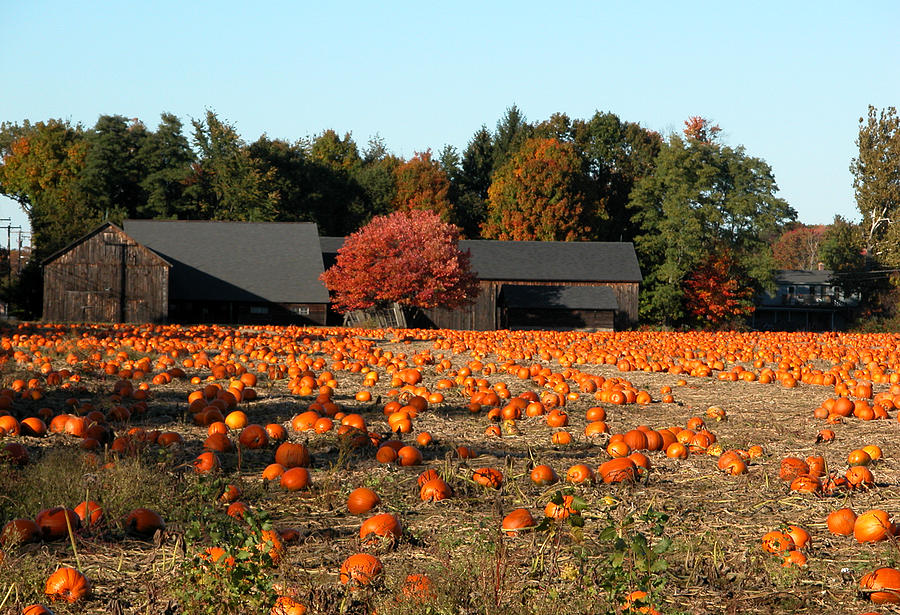 Massachusetts Photograph - Ready For Pickin by Kenneth Drylie