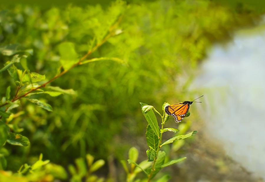 America Photograph - Ready Set Go Viceroy Butterfly by Marianne Campolongo