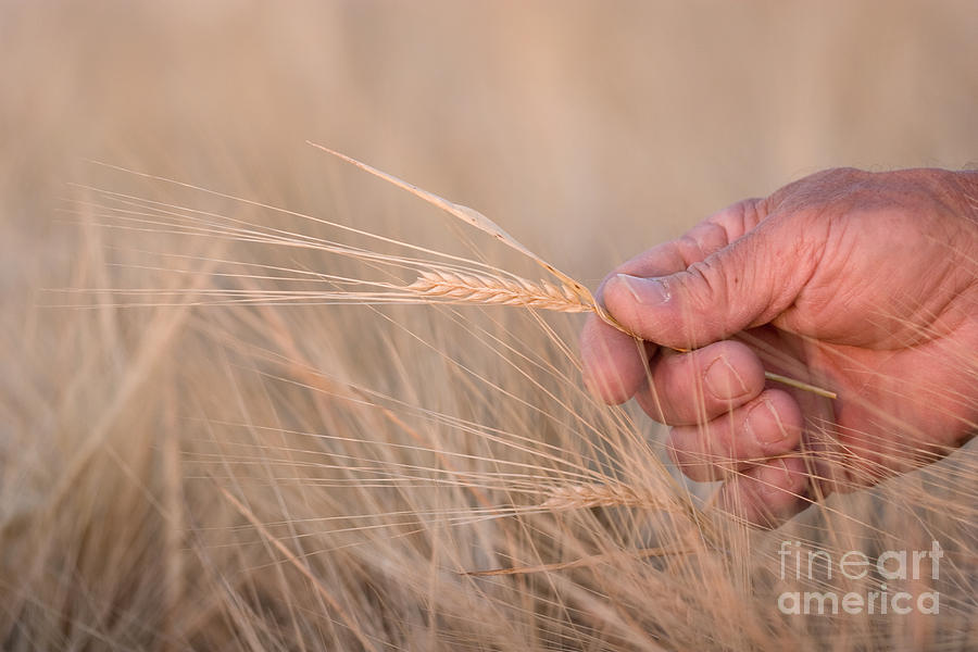 Agriculture Photograph - Ready To Harvest by Cindy Singleton