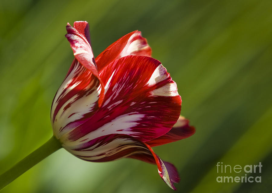 Tulip Photograph - Red And White   Rouge Et Blanc by Nicole  Cloutier Photographie Evolution Photography