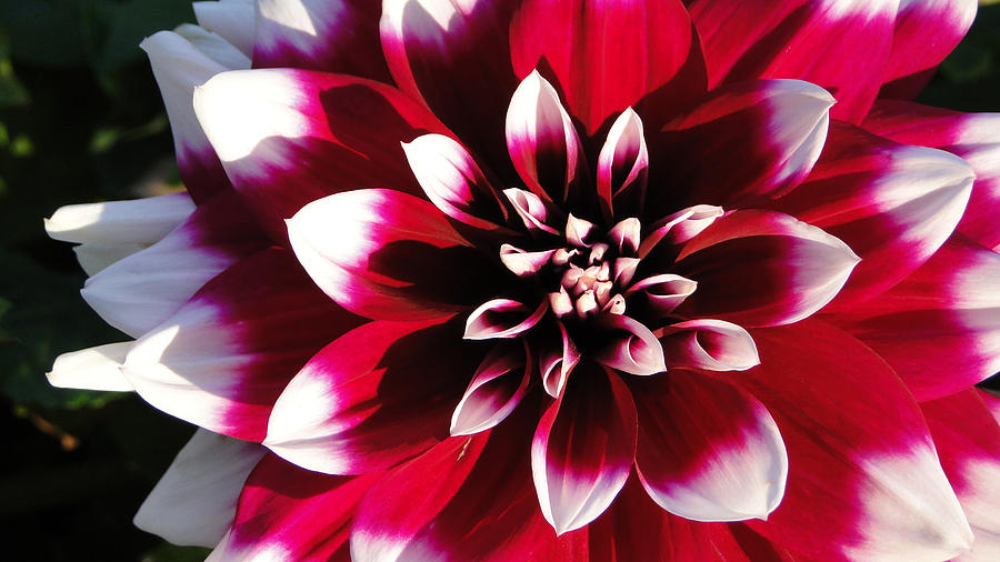 Flower photograph red and white flower by kiersten dunbar chace
