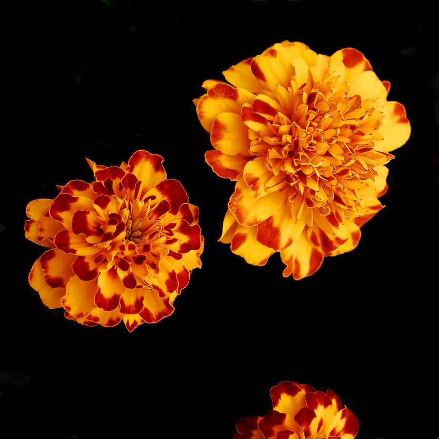 Flower Pyrography - Red And Yellow by Barry Shaffer