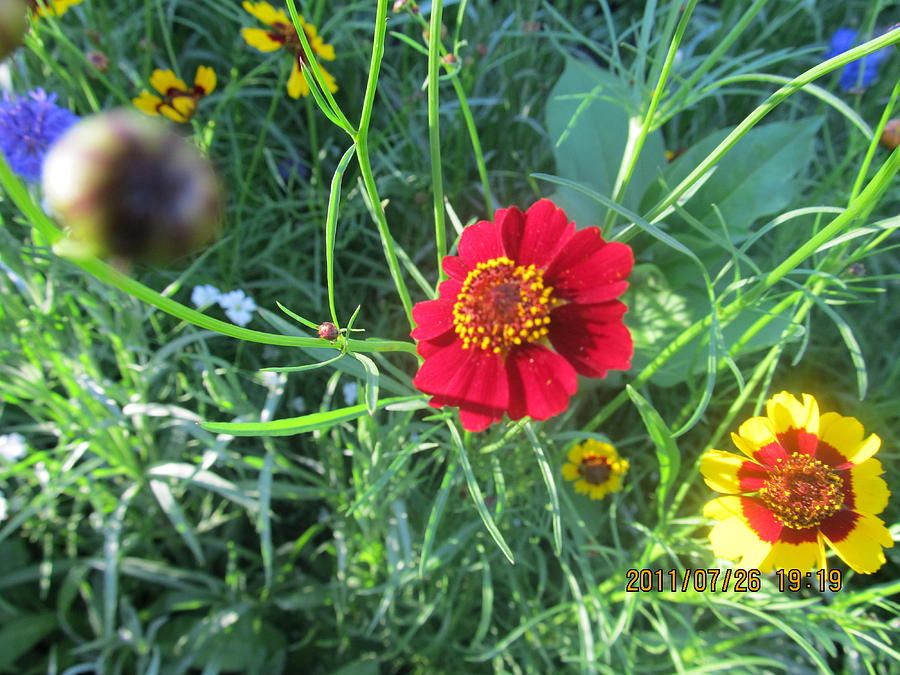 Flowers Photograph - Red And Yellow Tiny Flowers by Tina M Wenger