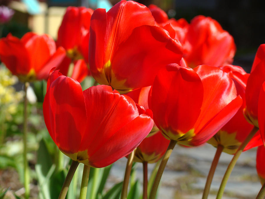 Red Photograph - Red Art Spring Tulip Flowers Floral by Baslee Troutman