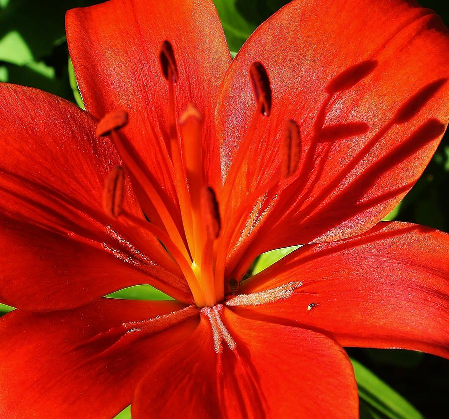 Flora Photograph - Red Asiatic Lily by Bruce Bley