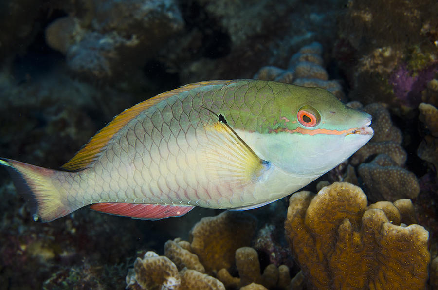 red banded parrotfish bonaire photograph by pete oxford