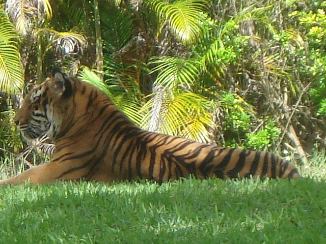 Tigers Photograph - Red Beauty by Val Oconnor