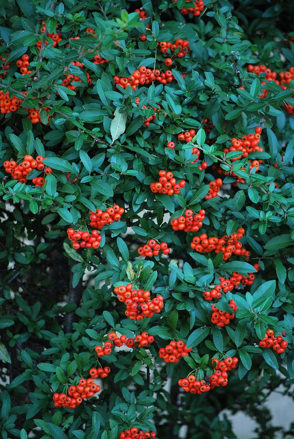 Berries Photograph - Red Berry Bush by Michelle Cruz