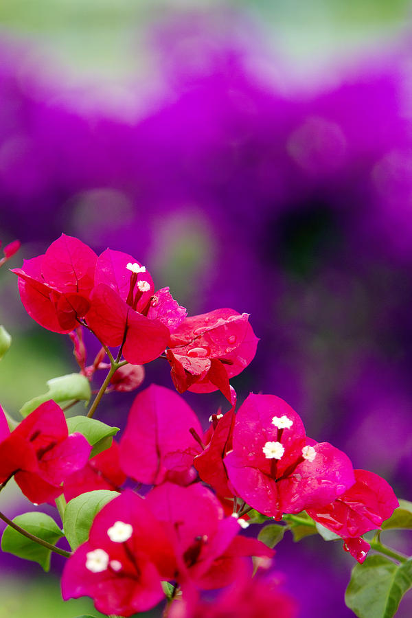 Beautiful Photograph - Red Bougainvillaeas by Ron Dahlquist