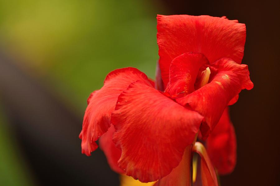 Lilly Photograph - Red Canna Lilly by Gene Sherrill