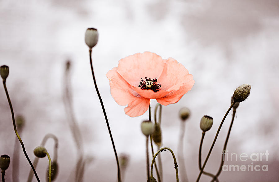Poppy Photograph - Red Corn Poppy Flowers 01 by Nailia Schwarz