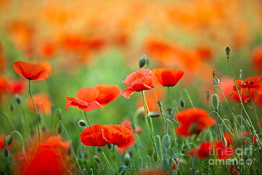 Red Corn Poppy Flowers 03 Photograph