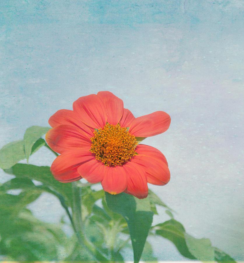 Vertical Photograph - Red Daisy Flower by Kim Hojnacki